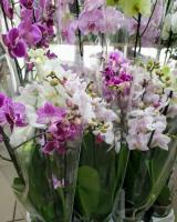 Орхидея -2 ствола